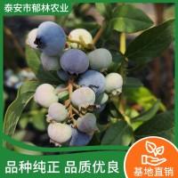 蓝莓苗出售