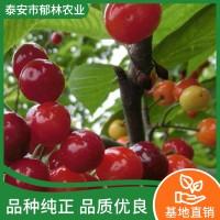 大樱桃树苗出售
