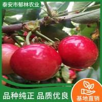 樱桃树苗多少钱一棵