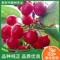 矮化樱桃树苗